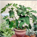 How to grow Fig trees in pot   Growing Fig   Figs care - NatureBring