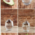 How to plant an avocado | Planting an avocado pit easy and fast