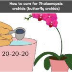 How to care for Phalaenopsis orchids (butterfly orchids)