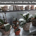 Transplanting orchids step by step