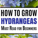 Hydrangea Care and Growing Tips